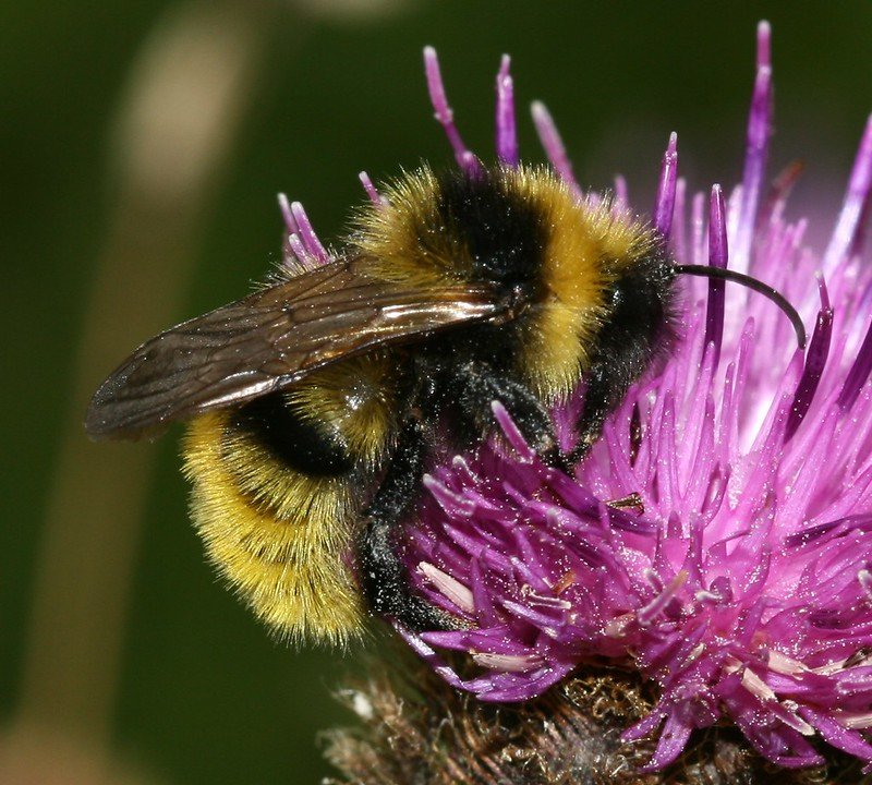 Bombus campestris - Field Cuckoo-bee