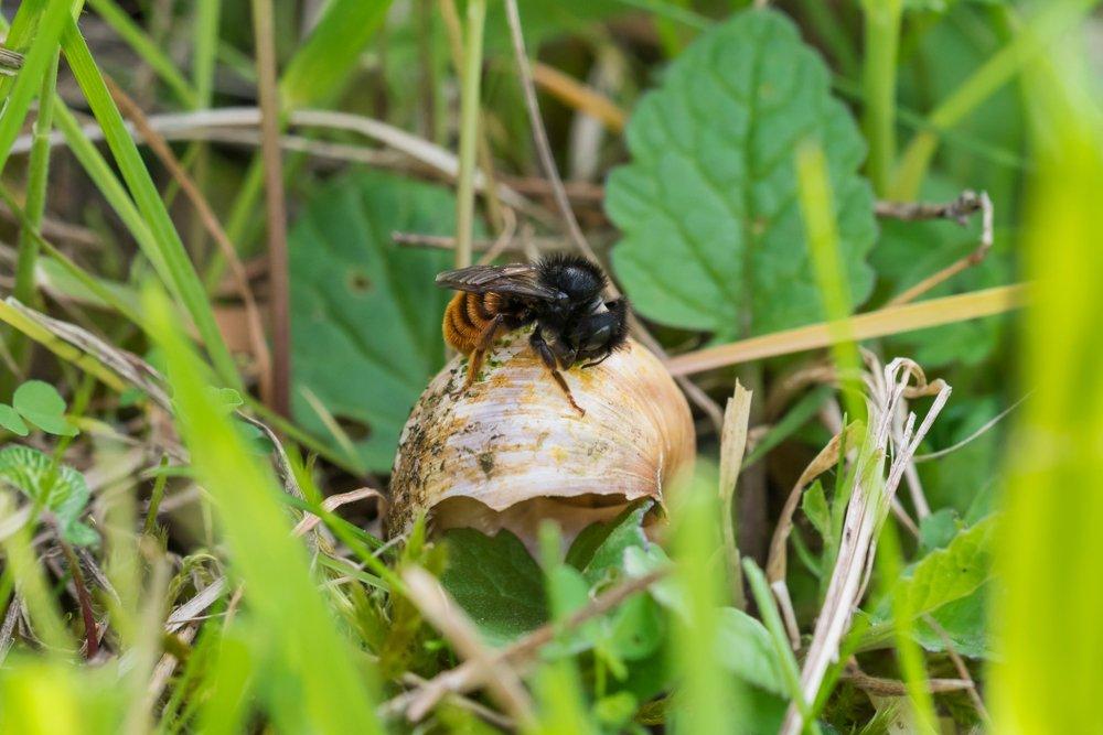 Red-tailed mason bee on a snail shell