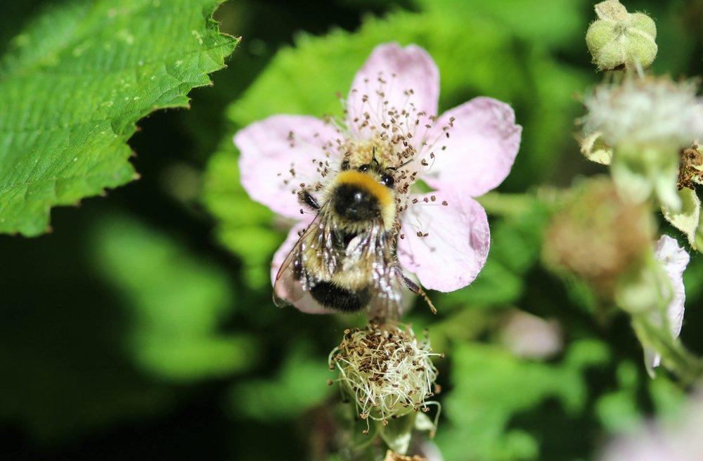 Gypsy Cuckoo Bumblebee