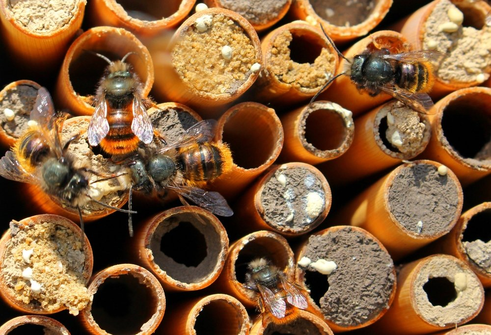 Solitary bees on small houses-tubules of the cane.