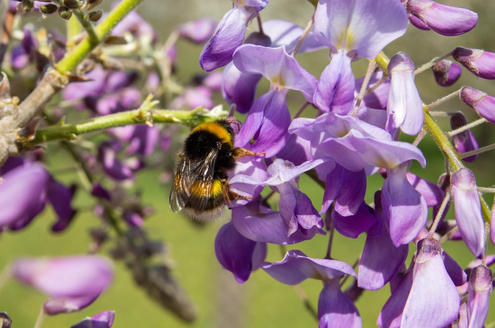 Bumblebee on Wisteria Flowers