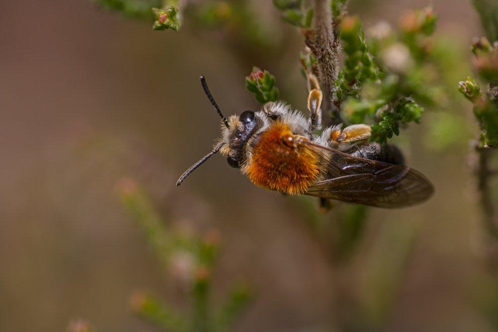 Early mining bee