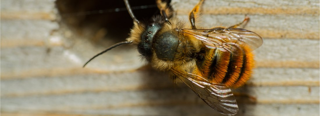 A Red Mason bee inspecting a potential nesting site