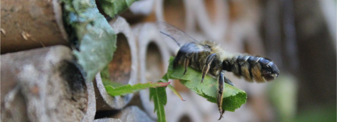Nesting Leafcutter Bee
