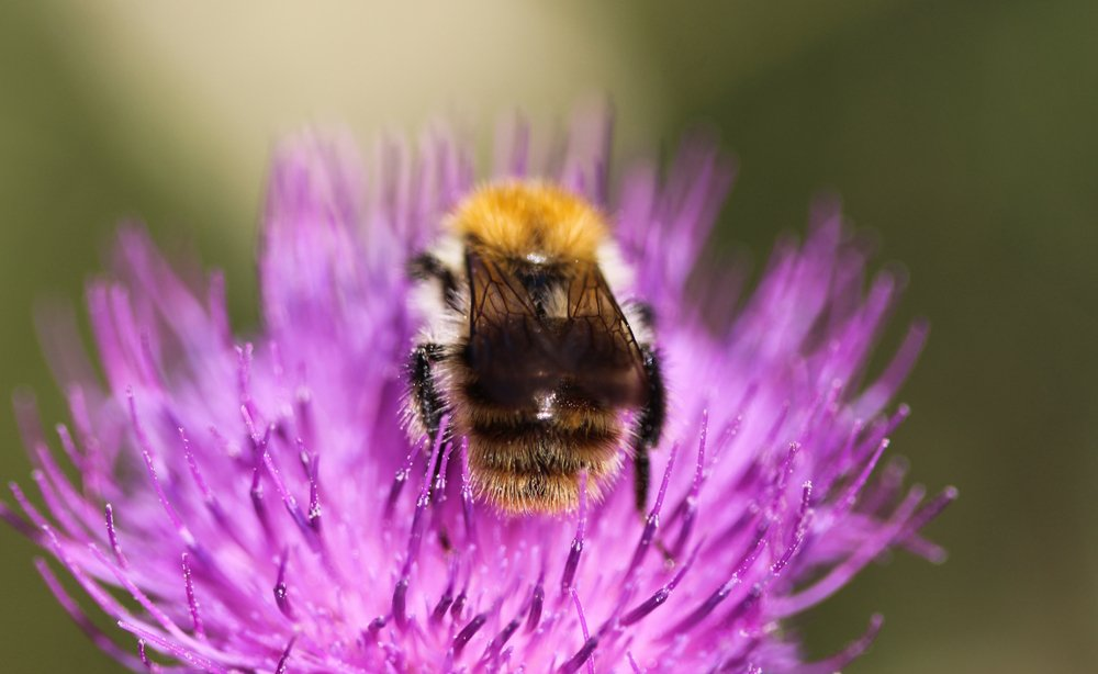 Brown-Banded Carder Bumblebee