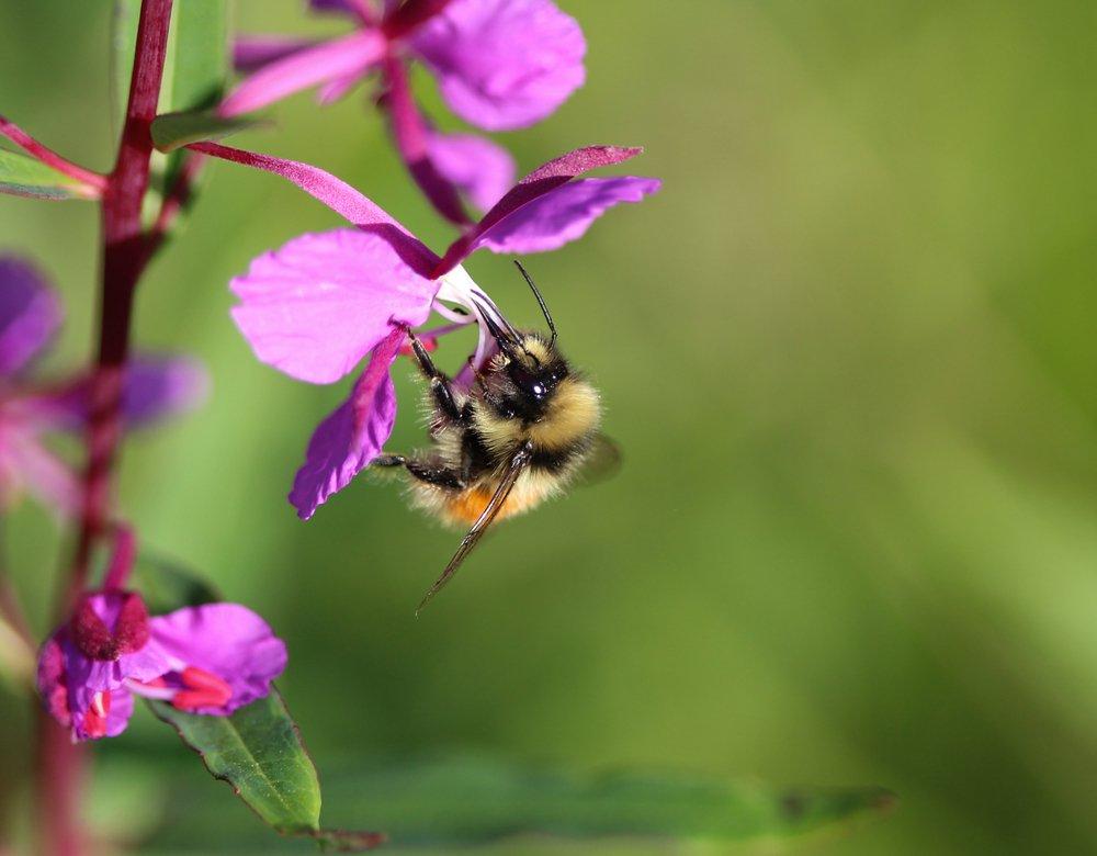 Bilberry Bumblebee