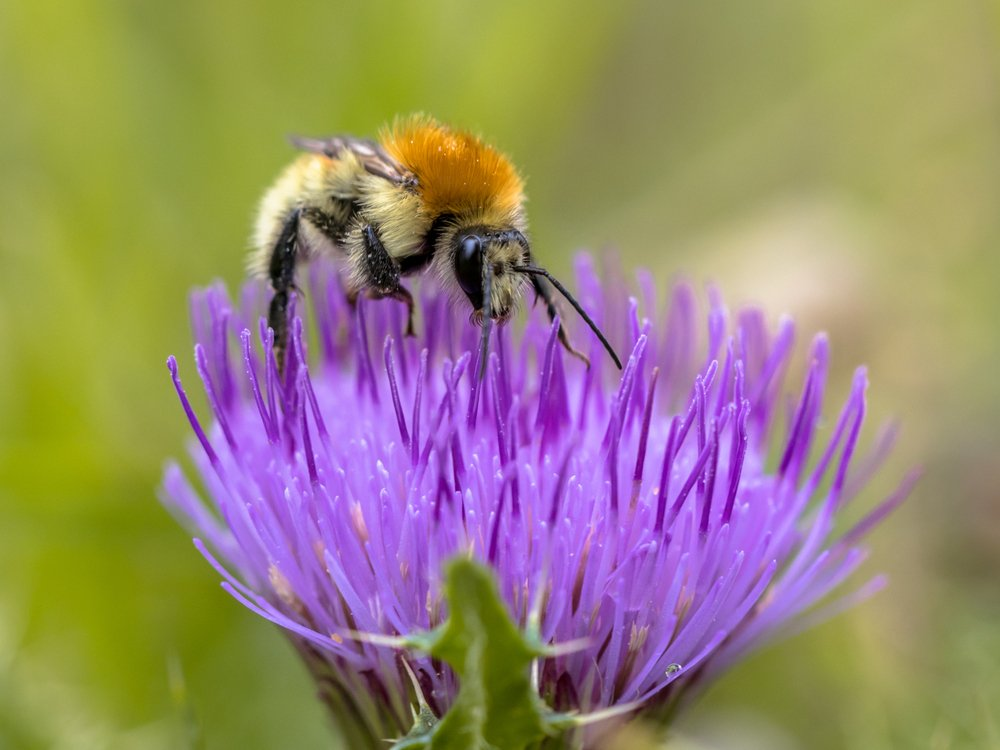 Great Yellow Bumblebee