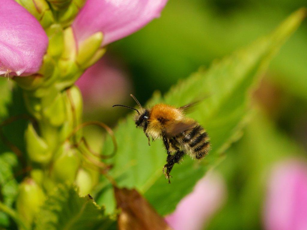Moss Carder Bumblebee