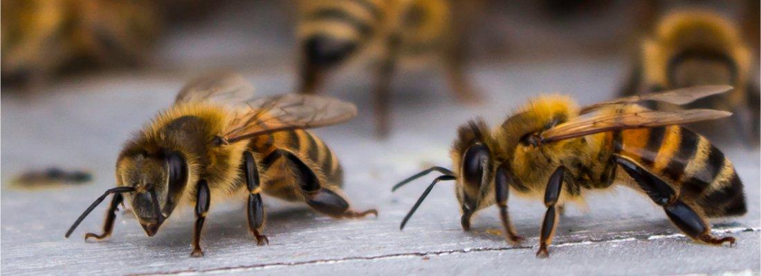 type of honey bee